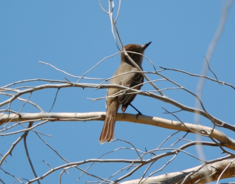 Dusky-capped Flycatcher - Maybe - California Cropped