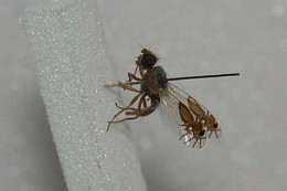 A FLY WITH ANTS ON ITS WINGS –(Re-post)