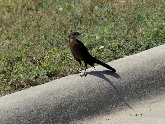 Great-tailed Grackle female outside motel - Sonora Tx