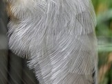 Grey-winged Trumpeter (Psophia crepitans) Houston Zoo 5-6-15 by Lee