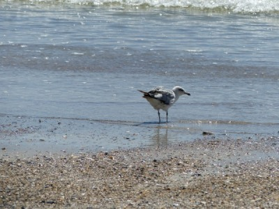 Sea Gull with feet in Atlantic at Hanna Park by Lee