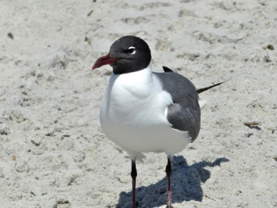 Laughing Gull at Hanna Park by Lee