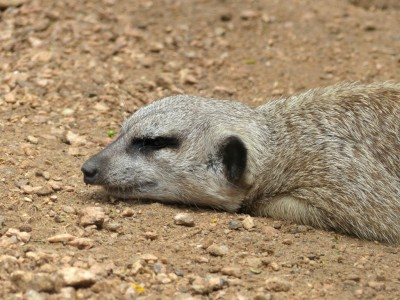 Meerkats at Houston Zoo by Lee