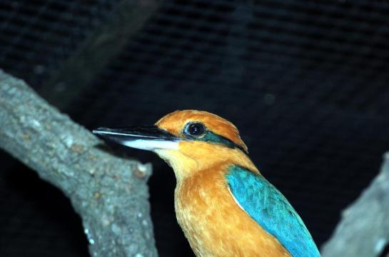 Micronesian Kingfisher by Dan