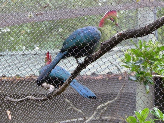 Fischer's Turaco (Tauraco fischeri) Houston Zoo by Lee