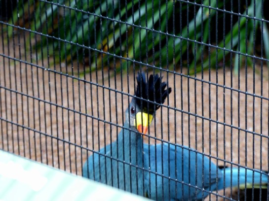 Great Blue Turaco (Corythaeola cristata) Houston Zoo