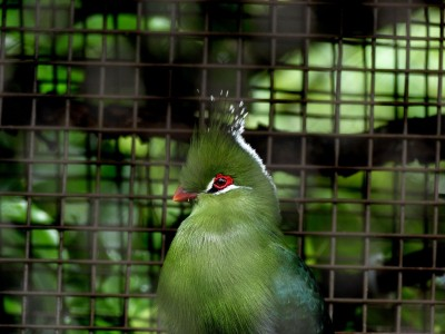 Livingstone's Turaco (Tauraco livingstonii) Sign Houston Zoo 5-6-15 by Lee