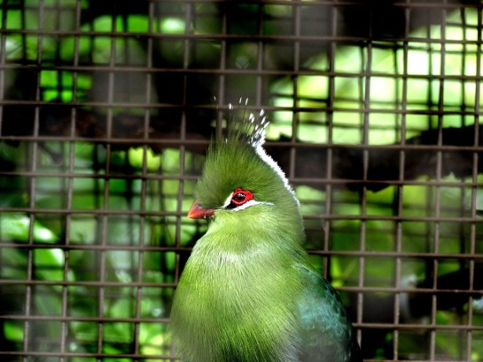 Livingstone's Turaco (Tauraco livingstonii) Houston Zoo by Lee