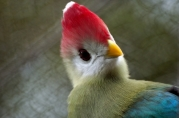 Red-crested Turaco (Tauraco erythrolophus) by Dan