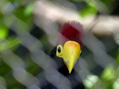 Ross's Turaco (Musophaga rossae) Houston Zoo by Lee