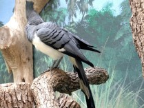 White-bellied Go-away-bird (Corythaixoides leucogaster) Houston Zoo by Lee