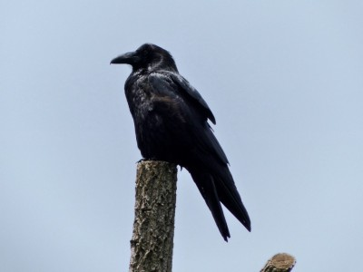 American Crow (Corvus brachyrhynchos) Wild SD Zoo Day by Lee