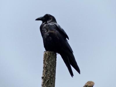 American Crow (Corvus brachyrhynchos) Wild SD Zoo Day by Lee