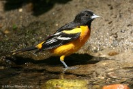 Baltimore Oriole (Icterus galbula) by Michael Woodruff