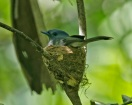 Pale-blue Monarch (Hypothymis puella) Female on nest ©WikiC