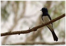 Satin Flycatcher (Myiagra cyanoleuca) ©Tom Tarrant