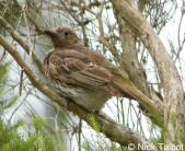 Australasian Figbird (Sphecotheres vieilloti vieilloti) by Nick Talbot