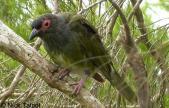 Australasian Figbird (Sphecotheres vieilloti vieilloti) Male by Nick Talbot