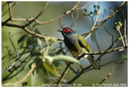 Green Figbird (Sphecotheres viridis) by Tom Tarrant
