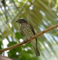 Green Figbird (Sphecotheres viridis) ©WikiC