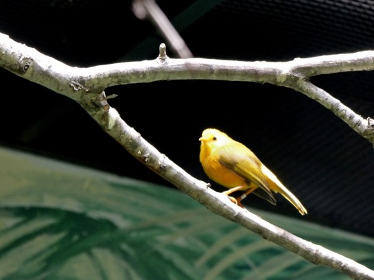 PAS-Ploc Taveta Weaver (Ploceus castaneiceps) Houston Zoo 5-6-15 by Lee (16)