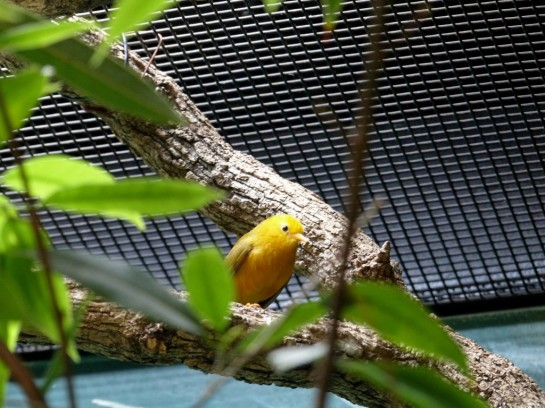 Taveta Weaver (Ploceus castaneiceps) Houston Zoo by Lee