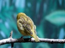 Taveta Weaver (Ploceus castaneiceps) Houston Zoo by Lee