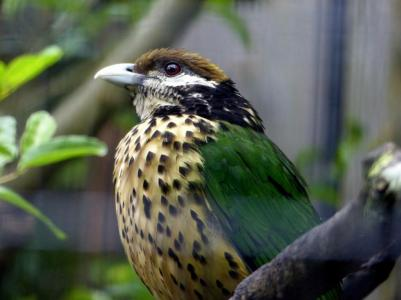White-eared Catbird (Ailuroedus buccoides) Houston Zoo by Lee
