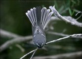 Grey Fantail (Rhipidura fuliginosa) by Ian