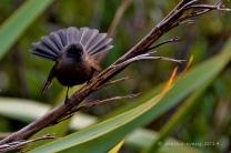 New Zealand Fantail (Rhipidura fuliginosa) Black Morph ©Flickr Shellie