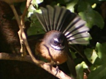 New Zealand Fantail (Rhipidura fuliginosa) ©WikiC
