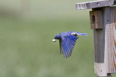 Western Bluebird (Sialia mexicana) Removing Fecal Sac ©WikiC