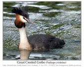 Great Crested Grebe (Podiceps cristatus) by Ian