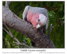 Ian's Bird of the Week –Galah