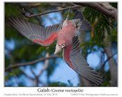 Galah (Eolophus roseicapilla) by Ian at Birdway