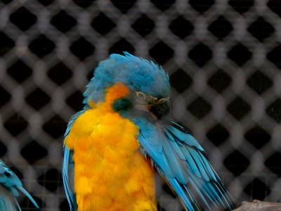 Blue-throated Macaw (Ara glaucogularis) Houston Zoo by Lee