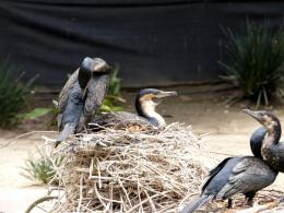 White-breasted Cormorants at San DiegoZoo