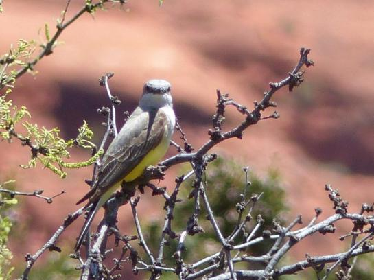 Western Kingbird Maybe - - California