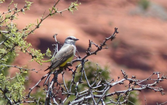 Western Kingbird Maybe - California