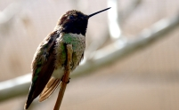 Anna's Hummingbird (Calypte anna) Desert Museum-Tuscon by Dan