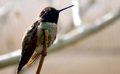 Anna's Hummingbird by Dan