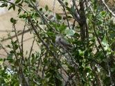 Anna's Hummingbird (Calypte anna) Desert Mus-Tuscon