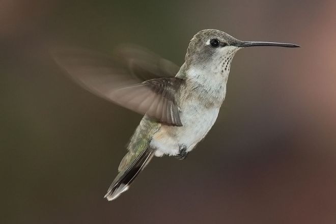 Black-chinned Hummingbird (Archilochus alexandri) ©WikiC