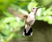 Black-chinned Hummingbird (Archilochus alexandri) F by S Slayton