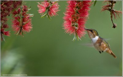 Scintillant Hummingbird (Selasphorus scintilla) in Flight by Raymond Barlow