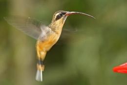Wordless Birds –Hummingbirds