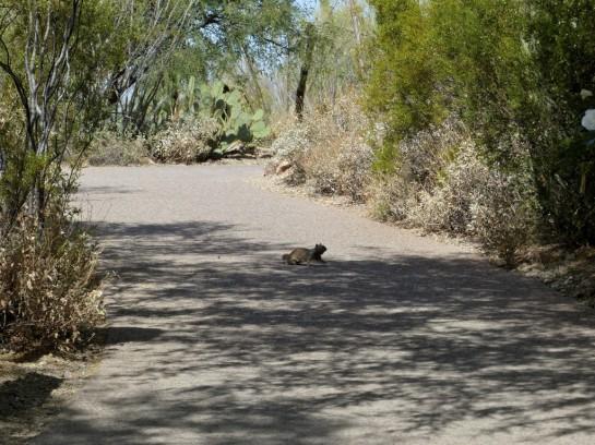 Arizona Squirrel Desert Mus-Tuscon