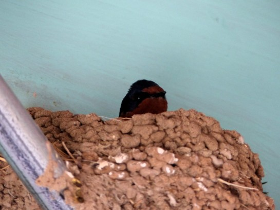 Barn Swallow (Hirundo rustica)  New Mexico Welcome Center by Lee