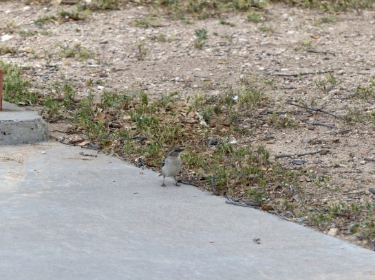 Black-throated Sparrow at Rest Stop