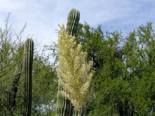 Desert Mus-Tucson (52)